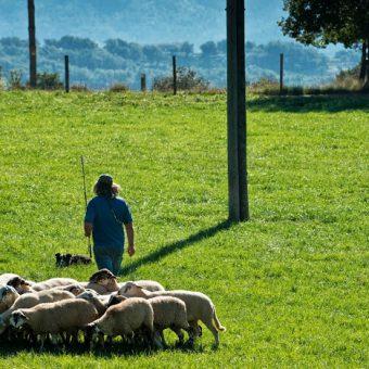 Treball amb ovelles